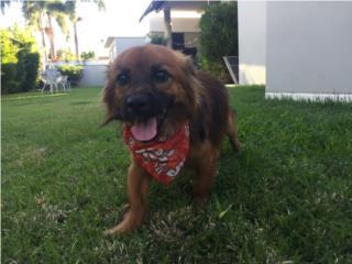 Puerto Rico PERRITO ENCONTRADO BAYAMÓN, Perros Gatos y Caballos