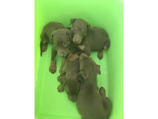 Puerto Rico Se vende dóberman pincher tienen 5 semanas , Perros Gatos y Caballos