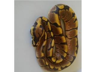 Ball pythons bebés Puerto Rico
