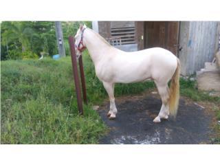 Hermoso caballo albino Puerto Rico