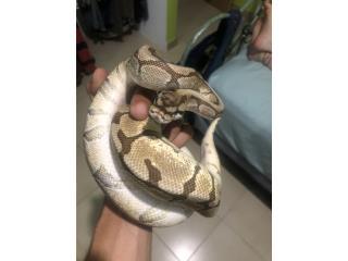 Preciosa ball python mojave spyder hembra  Puerto Rico
