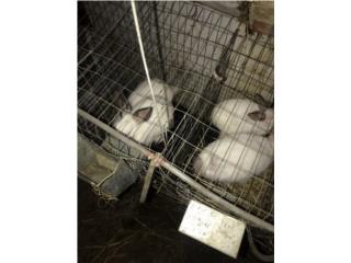 Conejos californianos  Puerto Rico