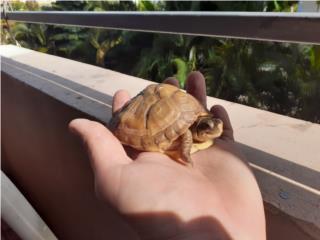 3 toed box turtle Puerto Rico