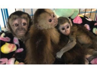 mono capuchino para adopción  Puerto Rico