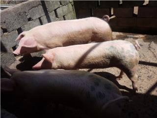 Venta de cerdos Puerto Rico