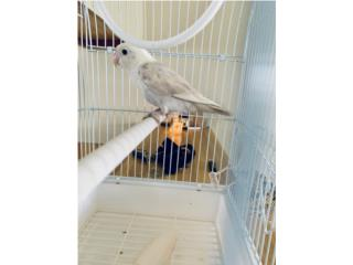 Lovebirds $50 Puerto Rico