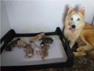 Se venden Siberian Husky Puerto Rico