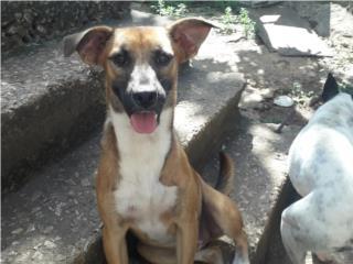 Perrita para adopción 7 meses Puerto Rico