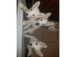 Puerto Rico Bellos Gerberian Shepskys, Perros Gatos y Caballos