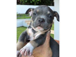 Puerto Rico American Bully Pocket ABKC, Perros Gatos y Caballos