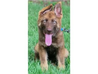 Clasificados Online Mascotas GERMAN SHEPHERD LIVER AKC Working line