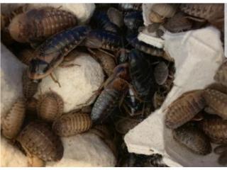 Alimento vivo para reptiles dubias  Puerto Rico