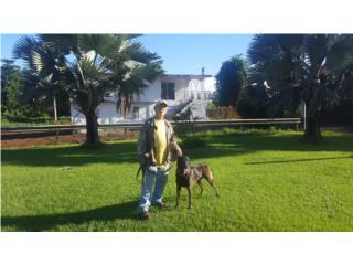 Puerto Rico Belgium Malinios, Perros Gatos y Caballos