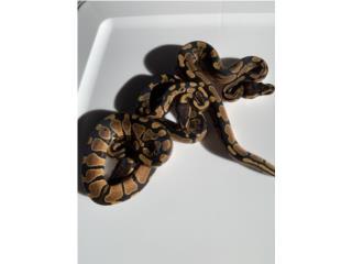 Ball python normales Puerto Rico