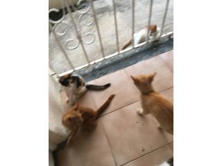 Adopcion gatito Puerto Rico