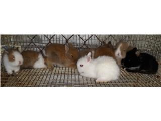 Conejos Enanos  Puerto Rico