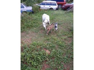 Unas cabra. Con dos cabritas Puerto Rico