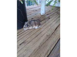 Busco Jerbos o Hamsters Rusos Puerto Rico