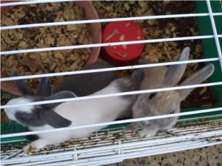 Se venden Conejos enanos Puerto Rico