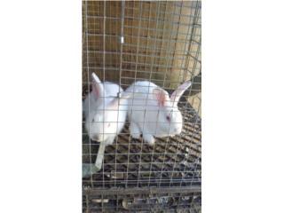 Conejos new zealand y californianos Puerto Rico