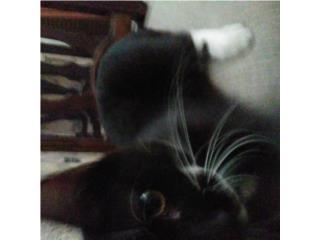 Hermoso gatito negro con bigote Puerto Rico