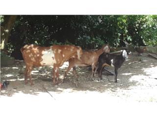 Se venden cabr@s Nubia,puras puras Puerto Rico