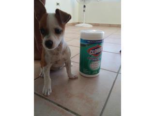 Chihuahua 3 meses Puerto Rico