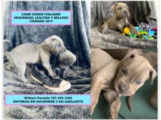 Puerto Rico CANE CORSO ITALIANO CAMADA 2020, Perros Gatos y Caballos