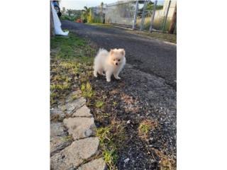 Hermoso Pomeranian blanco Puerto Rico