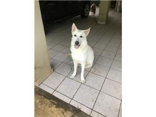 Puerto Rico German Shepherd Blanco, necesita casa urgente, Perros Gatos y Caballos