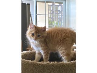 Gata y gato en adopción (gratis+gastos pagos) Puerto Rico
