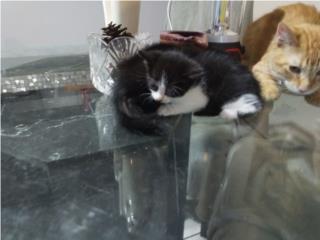 Hermosos gatitos puertorriqueños Puerto Rico