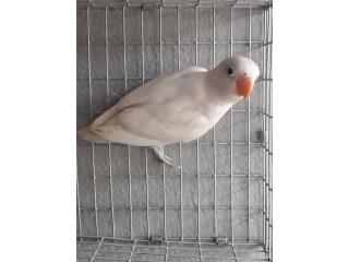Lovebird Puerto Rico