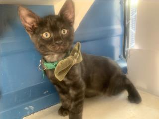 Se regalan gatitos 2 meses Puerto Rico