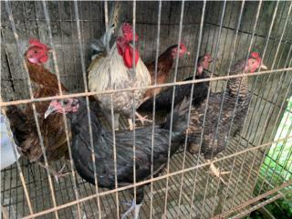 Gallo y gallinas 6 en total   Puerto Rico