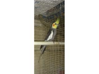 Cockatiel macho gris común  Puerto Rico