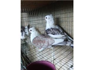 Pareja de palomas satines   Puerto Rico