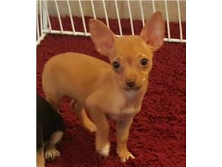 Chihuahuas toys Puerto Rico