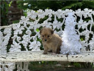 Pomeranian Toy Macho   Puerto Rico