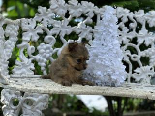 Pomeranian Toy Hembra en 500  Puerto Rico