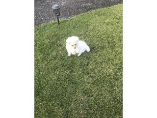 Precioso Pomeranian blanco macho Puerto Rico