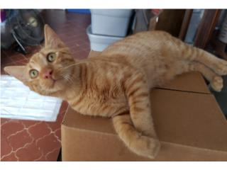 Puerto Rico Gatito cariñoso, juguetón, vacunado y operado., Perros Gatos y Caballos