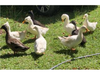 Patos pekin y black swedish Puerto Rico