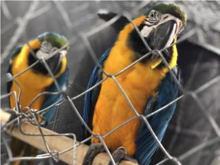 Pareja de guacamayos blue and gold   Puerto Rico