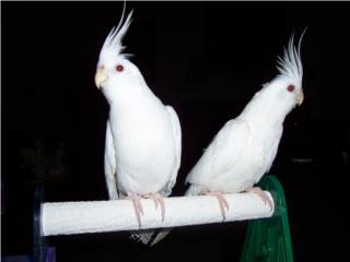 Busco parejas de cockatieles blancos Puerto Rico