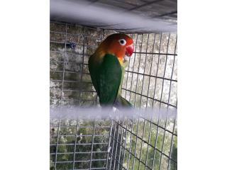 Anillado macho en verde Puerto Rico