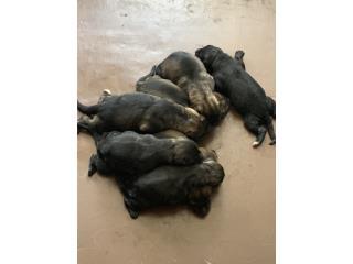 Puerto Rico German Shepherd, Perros Gatos y Caballos