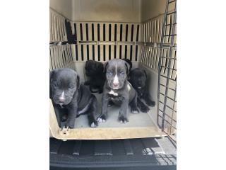 Puerto Rico Bandogs ( cane corson - pitbull ), Perros Gatos y Caballos