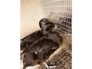 Patos de razas Puerto Rico