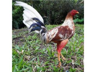Pollos gallos padrotes y gallinas  Puerto Rico